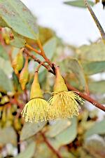 Eucalyptus pimpiniana (Gum Tree) in 50mm forestry tube native plant tree