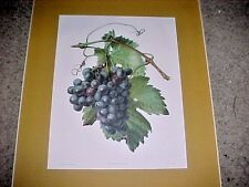 "Carlos von Riefel print of Purple Grapes ""Vitis Vinifera"" in gold mat"