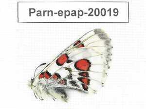 Parnassius epaphus ssp. Qinghai, Dulan county, Dashan. 1M. 20019.