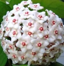 Hoya FUNGII Collection Number 24 very fragrant flowers plant in 80mm pot
