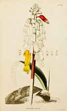 "Loddiges Flower Print - ""LACHENATIA LUTEOLA"" - Hand Colored Engraving - 1818"