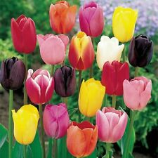 Tulip Bulbs Hydroponic Flower Tulip Seeds 99 Pcs Garden Decoration MIXED COLOR