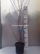Von pflanzen Prunus Spinosa Trigno der Molise - Blackthorn Antitumor-