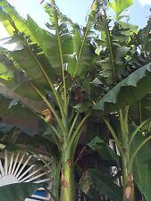 BASJOO BANANA Cold Hardy Tree Plant 4 Ft BIG BOLD