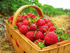 10 Eclair Strawberry Plants- Extra Sweet & Fragrant Berries Exceptional Flavor