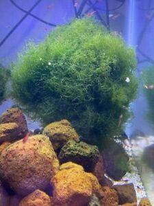 Brackish Water Macro Algae Chaeto  Opae Ula