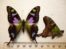 Real Butterfly/Moth Dried Insect Non Set B2896 Graphium weiskei..Purple/Green