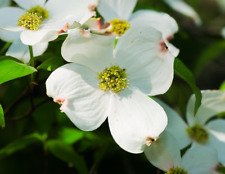 Flowering Dogwood   Cornus florida   10 Seeds   (Free Shipping)