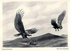 Jagende Seeadler *  Karl Olszewski um 1930 * Jagdliche Grafik * Kunstdruck