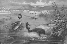 BIRDS:Grebes and their nests, antique print, 1882