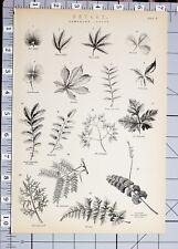1886 Imprimé Botany Composé Feuilles Deux Lobé Pedate Pinnate Fronde