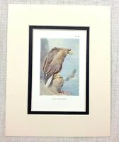 Antico Stampa Bianco Coda Aquila Uccelli Di Preda Vintage Wildlife Art 1929
