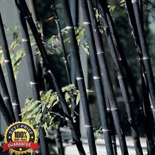 Fresh Black Bamboo Seeds Phyllostachys Nigra + 100pcs