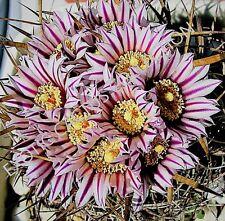 RARE STENOCACTUS ERECTOCENTRUS echinofosulocactus cactus exotic cacti  10 SEEDS