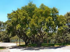 5 seeds of Portuguese oak trees (Quercus faginea)! Easy to plant! Free shipping!