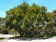 5 seeds of Portuguese oak trees (Quercus faginea)! Easy to plant! Free shipping!