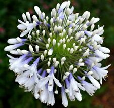 QUEEN MUM Agapanthus orientalis white blue flowers strappy plant in 125mm pot
