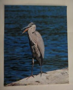 Incredible Blue Heron, 8x10 photo, Wildlife Photography by Christopher Mathein