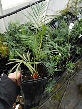 THREE Cycas Panzhihuaensis ULTRA COLD HARDY FREE SHIPPING Live Plant Blue Cycad