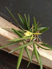 Bepi. Green Dragon Bs Orchid Plant epidendrum x nodosa hybrid