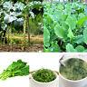 AF_ 100x Collard Greens Seeds Couve Galega Portuguese Walking Stick Cabbage Kale