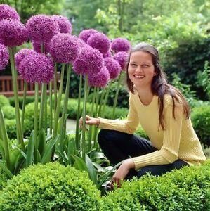 30 Seeds Purple Giant Allium Giganteum - plant flowers - Ornamental Onion
