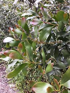 Acacia.    Phlebophylla Seeds.      Fresh Seeds.