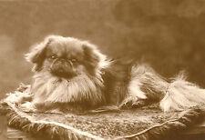 Pekingese Dog 1920's Photo - Large New Blank Note Cards