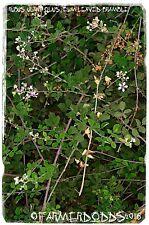 Rubus ulmifolius 'Elm-Leaved Bramble' [Ex. Kato Gouves, Crete] 100+ SEEDS