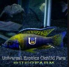 "Usisya flavescent african cichlids 3"" Guaranteed Male only 4 available"