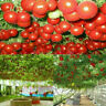 RIESEN-TOMATE BAUM-TOMATE 10 Korn Frische Tomatensamen Rarität L8V1 V5Z4 M9 S8C2