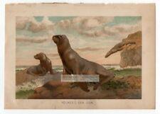 Hookers New Zealand Sea Lion Original c1895 Color Chromolithography Print
