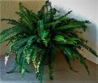 3 Kimberly Queen aka Sword Fern Houseplant Clean Air Plant