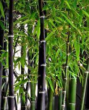 20 x graines de bambou. phyllostachys nigra Bambou Noir..