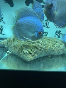Blue Turquoise Discus 4 Inch Tropical Live Fish
