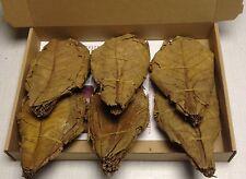 Seemandelbaumblätter 100 Stück XL ca.15-20cm naturgetrocknet Catappa Leaves