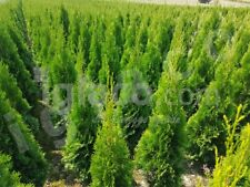 THUJA SMARAGD - hedging trees evergreen - 50-60 CM x 20 pieces