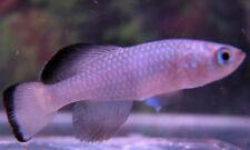 N.guentheri Blue Strain Killifish (killiefish) eggs