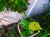 jolie plante artichaud ,vendue en tronçons        lot de 2avec bcp de rosaces