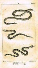 "Lacepede's Oeuvres du Comte - ""LE BOIQUIRA - SNAKES"" - Lithograph - 1833"