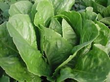Parris Island Cos Organic Lettuce Seeds- 1,000+ Seeds Grown in 2019 for '20