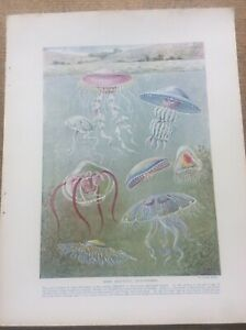 Beautiful Jelly-Fishes painted By James Green1912 print A4 size Free UK Post