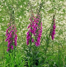 Fairy fingers - DIGITALIS PURPUREA  - 400 Seeds - Flowers