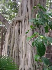 Ficus benghalensis Tree Seeds Ornamental Tropical Plant Ornamental Banyan Fig