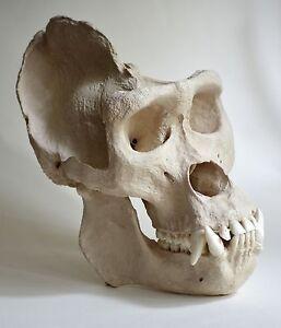 Gorilla Skull Replica