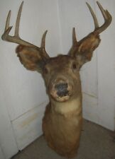 Vintage taxidermy whitetail deer 8-point