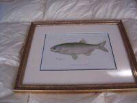 "ANTIQUE SHERMAN DENTON ""MOON-EYE"" ORIGINAL 1902 FISH PRINT"