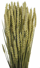 250 GRMS DRIED WHEAT / BARLEY / TARWE TRITICUM FOR FLOWER ARRANGING LARGE BUNCH