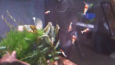5 x Pure Red Line Shrimp PRL (SS Grade)~UK Breed~