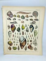 Antique large hand colored print 1843.Oken's Naturgeschichte Plate 5 SeaShells